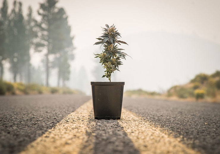 Potted cannabis plant in the road