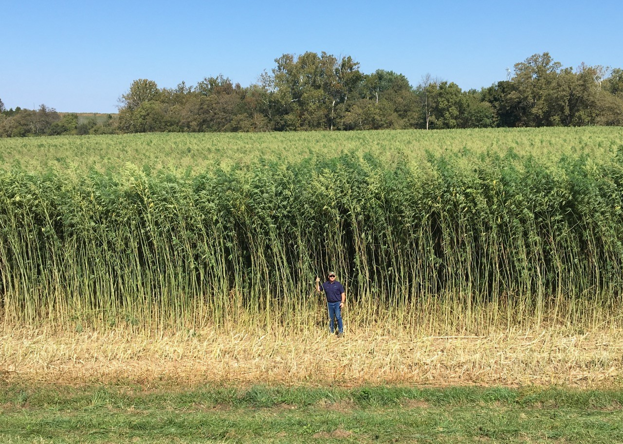 Field of tall hemp plants behind a man standing