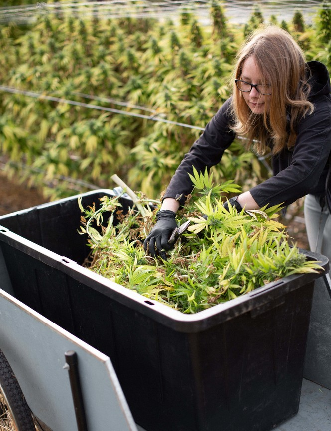 Woman trimming plants in a bin