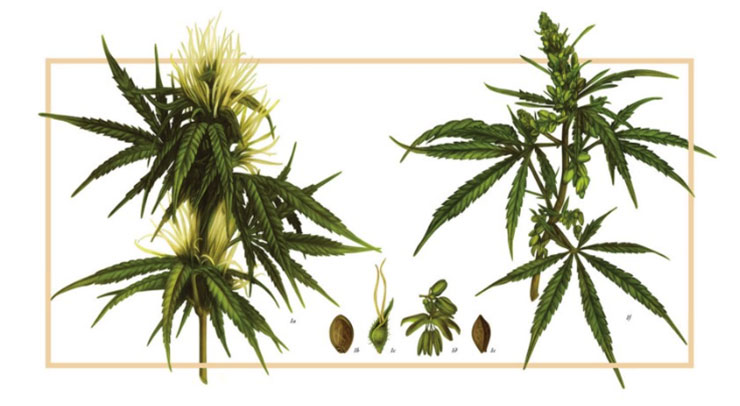 Illustration of Cannabis Plant Parts